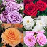 colrossgfa--Rose-Garden-Fav-2016