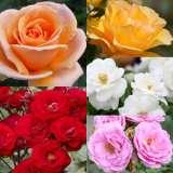 colrossgfa--Rose-Garden-Fav-2017