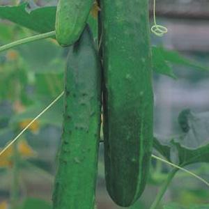 Seed – Cucumber Burpless