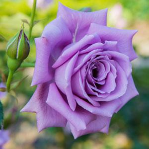 Rose Fragrant Plum