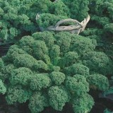 Seed – Kale Green Dwarf Curled