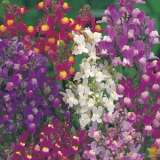 Seed – Linaria Fairy Bouquet