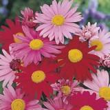 pyrethrum-large-flowered-hybrids_16