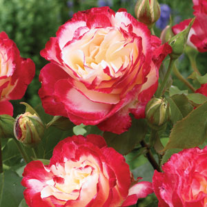 Standard Rose Double Delight