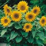 Seed – Sunflower Dwarf Sunsation
