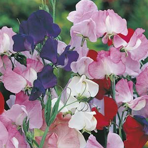 Seed – Sweet Pea Mammoth Mixed