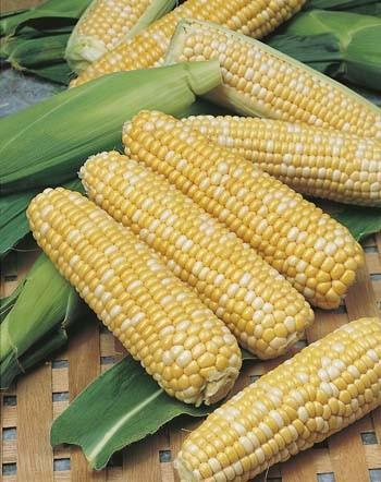 Seed Sweet Corn Snow Gold Bicolour Garden Express