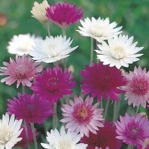 Seed – Xeranthemum Mixed