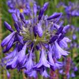 Agapanthus_Purple_Cloud_15_ST