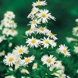 Aster-Snow-White16