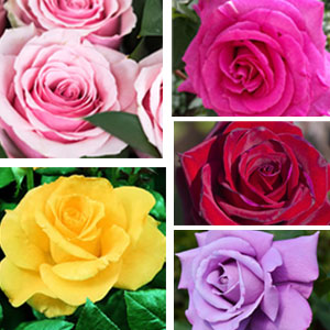 Fragrant Rose Collection 5 Roses