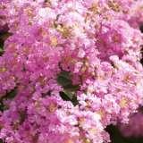 Crepe Myrtle Pink 75mm