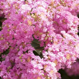 Crepe Myrtle Pink16jpg - Garden Express Australia