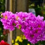 Crepe-Myrtle-Purple-16jpg