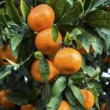 Dwarf Imperial Mandarin16