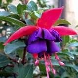 Fuchsia-Indian-Maid-16