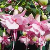 Fuchsia Pattie Sue 2016 Wvg
