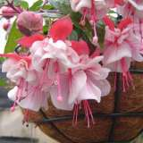 Fuchsia Weald View Calypso