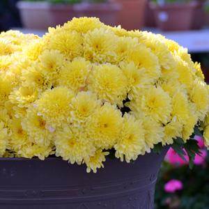 Garden Mum Adria Yellow 16jpg