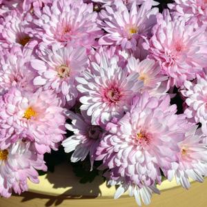 Garden Mum Chrysanthemum – Burma Pink