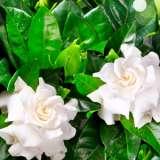 Gardenia-Professor16