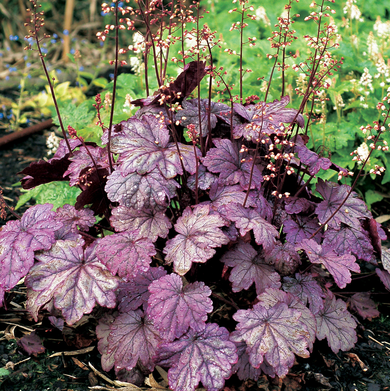 Heuchera Sugar Plum