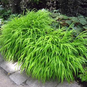 Japanese forest grass green garden express for Oriental grass plants