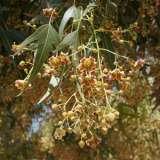 Kurrajong-Tree-16