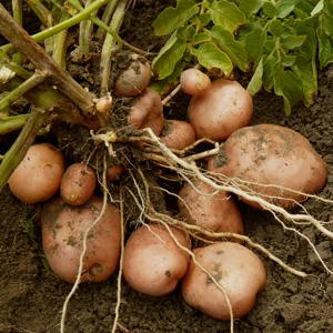 Potato Snow Gem16