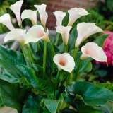 Zantedeschia  Pink Marshmallow