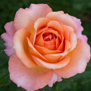 Rose Elle (pbr)