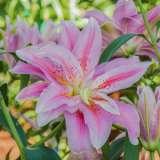 Lilium-Double-Sweet-Rosy-16