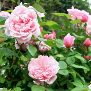 Weeping Standard Rose Albertine