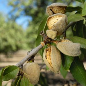 Dwarf Almond Self Pollinating