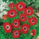 Anemone_Single_Red_cc