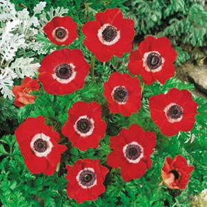Anemone Single Red Cc