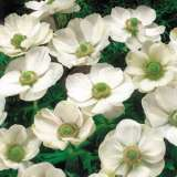 Anemone Single White