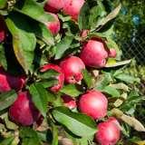 Apple-Pome-de-Neige-16