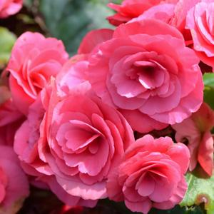 Begonia Rose Pink 16