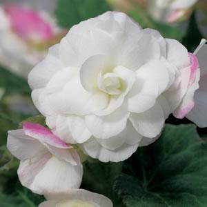 Begonia Apple Blossom13