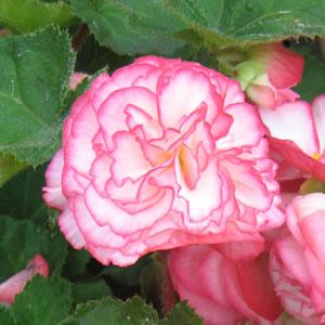 Begonia Rose Petticoat 14