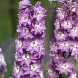 Delphinium-Dwarf-Lilac-16