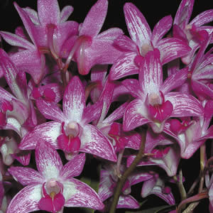 Dendrobium Orchid – Pretty Pink