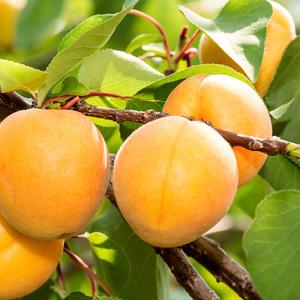 Dwf Apricot Trevatt 16