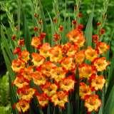 Gladioli Princess Margaret Rose16 - Garden Express Australia