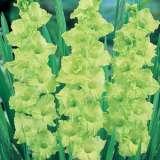 Gladioli Green Star Pkglagst - Garden Express Australia