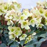 Hellebore Honeyhill Joy