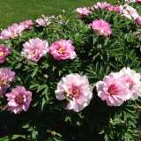 ITOH-Peony-First-Arrival-16