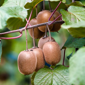Images Of Kiwi Fruit Plant