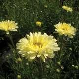 Leucanthemum-Real-Dream-16